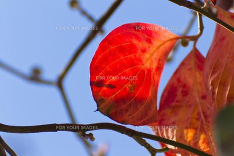 真っ赤なハナミズキの葉の写真素材 [FYI00396896]