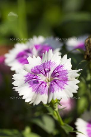 ナデシコの花(白と紫・縦)の写真素材 [FYI00396900]
