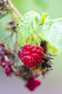 木イチゴの実の写真素材 [FYI00396901]