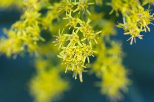 セイタカアワダチソウの花(アップ俯瞰)の写真素材 [FYI00396907]