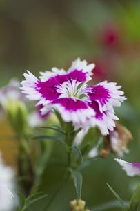 ナデシコの花(白と赤・縦)の写真素材 [FYI00396913]