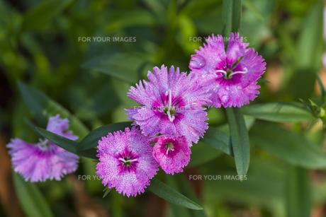 ナデシコの花(ピンク・俯瞰)の写真素材 [FYI00396917]