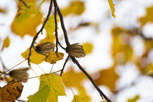 ユリノキの実と黄葉の写真素材 [FYI00396918]