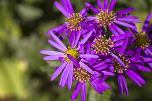ミヤコワスレの花(紫・俯瞰・横)の写真素材 [FYI00396920]