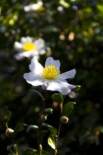 サザンカの花(白)-1の写真素材 [FYI00396929]