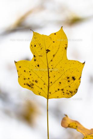ユリノキの葉の黄葉(1葉)の写真素材 [FYI00396932]