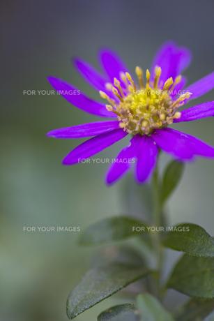 ミヤコワスレの花(紫・アップ)の写真素材 [FYI00396933]