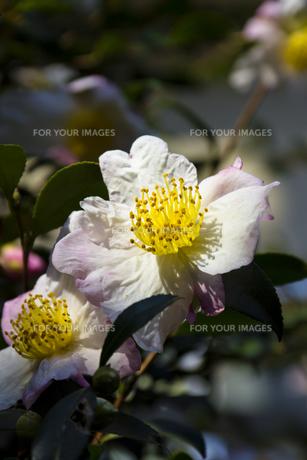 サザンカの花(白)-2の写真素材 [FYI00396939]