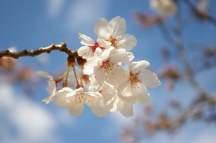 桜の写真素材 [FYI00397012]