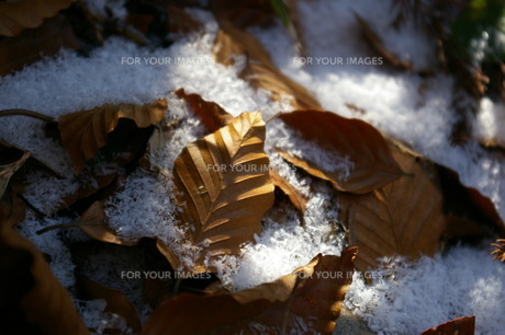 枯れ葉の写真素材 [FYI00397029]