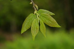 エノキの葉の写真素材 [FYI00397073]