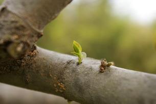エノキの新芽の写真素材 [FYI00397087]
