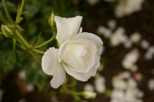 白いバラの写真素材 [FYI00397117]