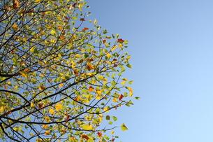 アメリカ楓の写真素材 [FYI00397137]