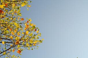 アメリカ楓の写真素材 [FYI00397140]