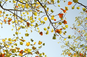 アメリカ楓(フウ)の写真素材 [FYI00397150]