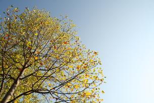 アメリカ楓(フウ)の写真素材 [FYI00397155]