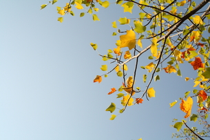 アメリカ楓の写真素材 [FYI00397157]