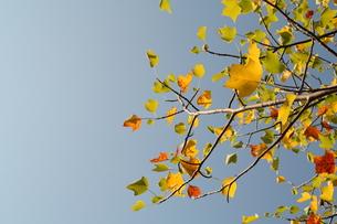 アメリカ楓の写真素材 [FYI00397161]