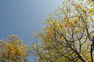 アメリカ楓の写真素材 [FYI00397166]