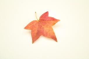 アメリカ楓の写真素材 [FYI00397212]