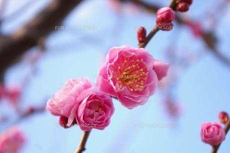 初春の素材 [FYI00397263]