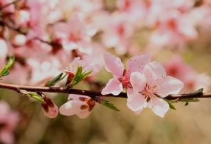 桃の花の素材 [FYI00397354]
