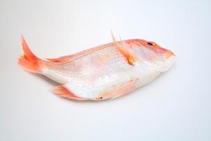 レンコ鯛の写真素材 [FYI00397441]