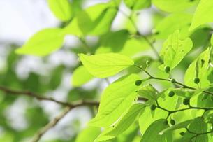 エノキの春の写真素材 [FYI00397446]