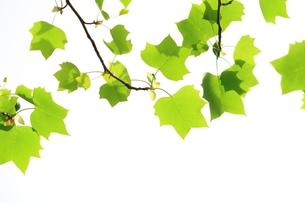 アメリカ楓の若葉の写真素材 [FYI00397453]