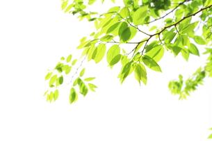 エノキの新緑の写真素材 [FYI00397454]