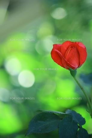 薔薇の素材 [FYI00397512]