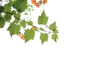 つる性植物の写真素材 [FYI00397663]