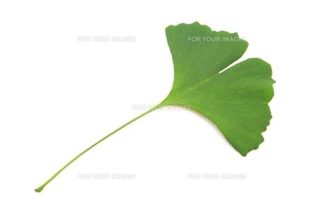 イチョウの葉の写真素材 [FYI00397700]