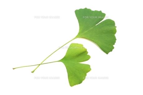 イチョウの葉の写真素材 [FYI00397701]