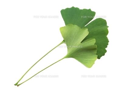 イチョウの葉の写真素材 [FYI00397702]