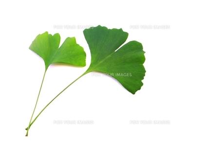 イチョウの葉の写真素材 [FYI00397710]