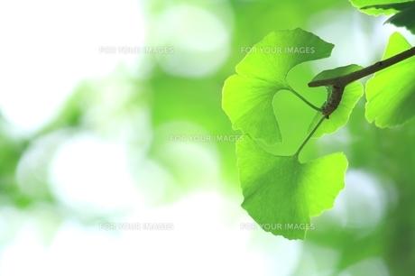 イチョウの青葉の写真素材 [FYI00397714]