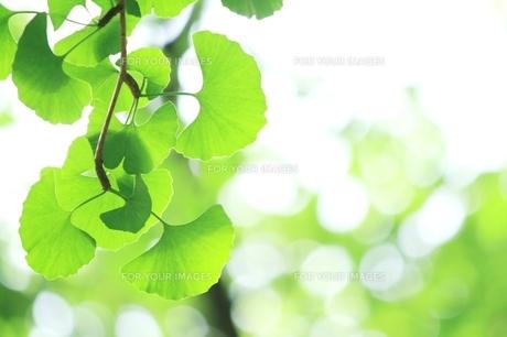 イチョウの青葉の写真素材 [FYI00397717]
