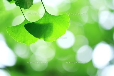 イチョウの青葉の写真素材 [FYI00397718]