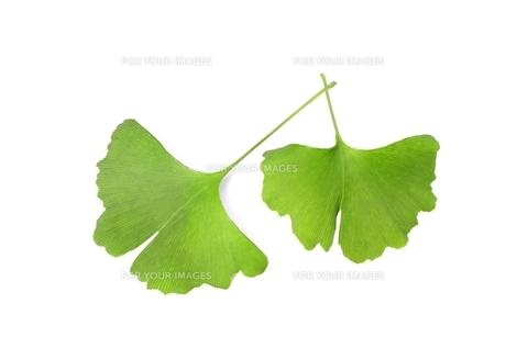 銀杏の葉の写真素材 [FYI00397792]