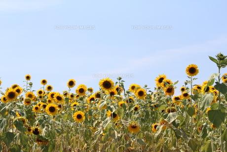 猛暑の写真素材 [FYI00397805]