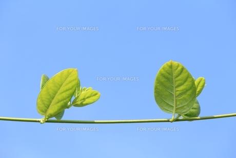 秋空と葉っぱの写真素材 [FYI00397956]