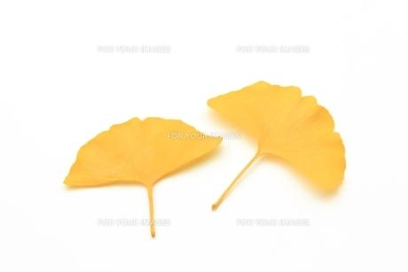 銀杏の黄葉の写真素材 [FYI00397965]