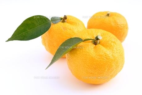 柚子の写真素材 [FYI00397992]