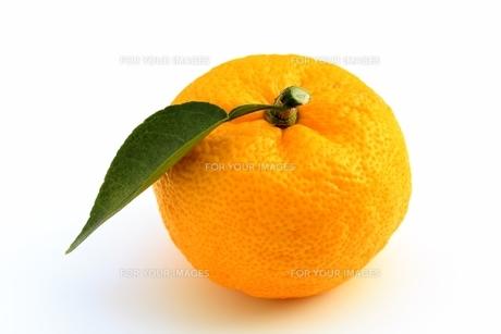柚子の写真素材 [FYI00397993]