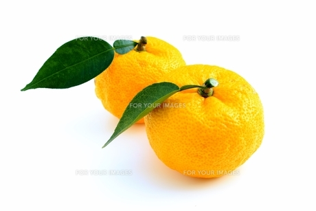 柚子の写真素材 [FYI00397998]