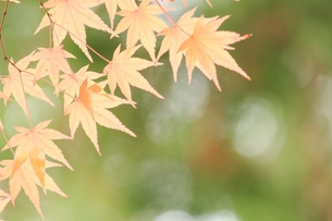 輝く紅葉の写真素材 [FYI00397999]