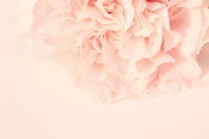 ピンクのカーネーションの素材 [FYI00398013]