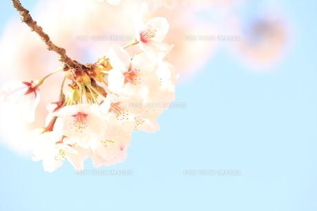 満開の桜の素材 [FYI00398064]